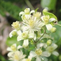 Fleurs de Bach Clematis
